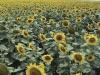 lan-floarea-soarelui-03-vt