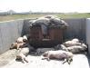 macel-porci